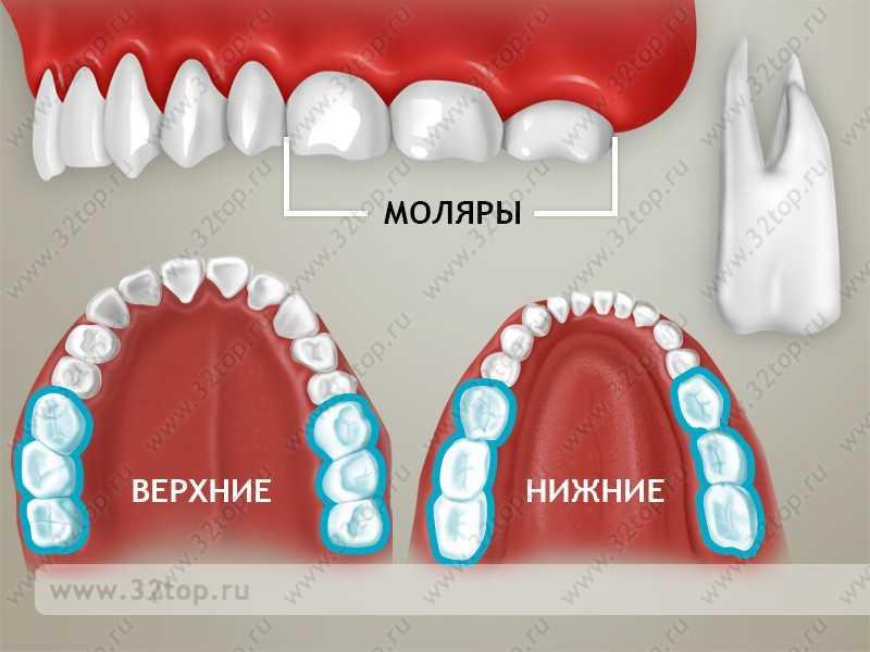 Зубы маляры где находятся фото
